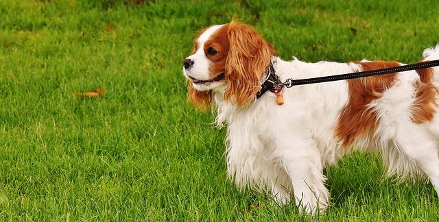 5 דברים לעשות עם כלבי קינג צארלס בבית