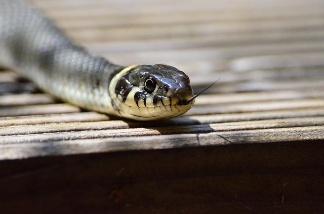 מדוע לוכד נחשים משחרר את הנחש לאחר לכידתו