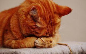 התקרחות חתול