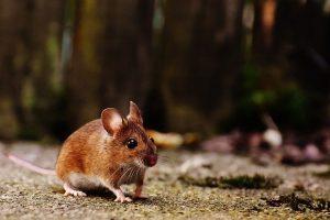 גללים של עכבר